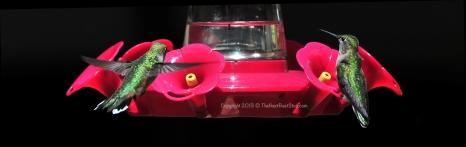 Hummingibrds