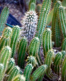 By psyberartist (cactus  Uploaded by russavia) [CC-BY-2.0 (http://creativecommons.org/licenses/by/2.0)], via Wikimedia Commons